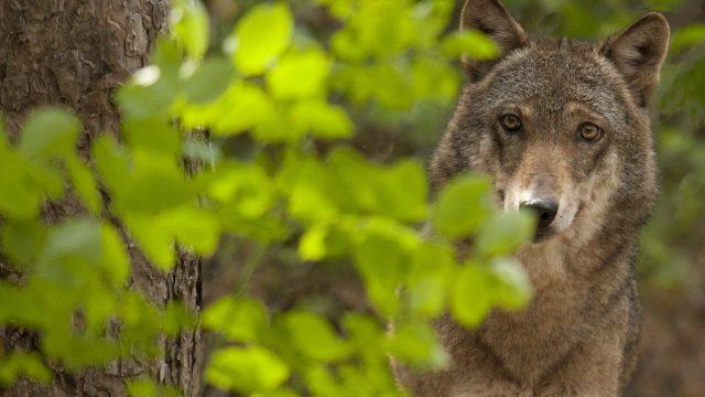 Centro visita del lupo – nel Parco Nazionale della Majella